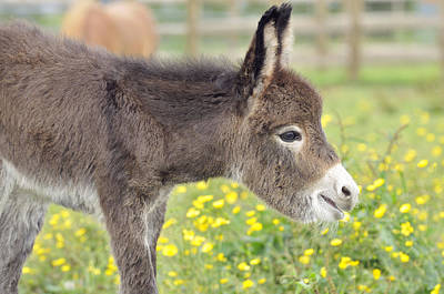 Donkey Baby Poster by John Daniels