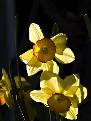 Poster featuring the photograph Dos Daffs by Joe Schofield