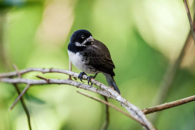 Double-collared Seedeater Sporophila Poster