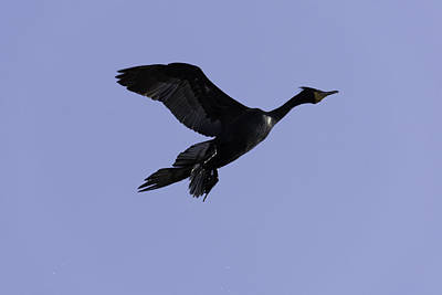 Double-crested Cormorant Coming In. Poster