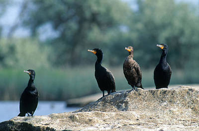 Double Crested Cormorants Poster by William H. Mullins