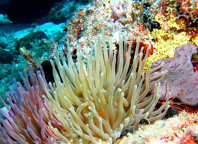 Poster featuring the photograph Double Giant Anemone And Arrow Crab by Amy McDaniel