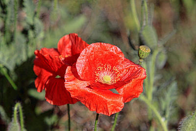 Double Poppies Poster by Linda Phelps