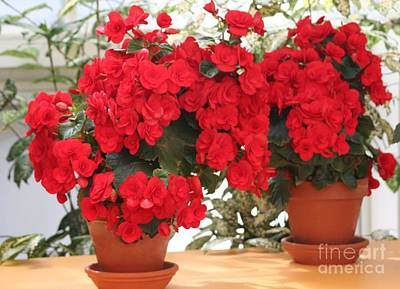 Poster featuring the photograph Double Red Begonias by Mary Lou Chmura