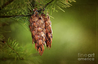 Douglas Fir Cones Poster by Sharon Talson