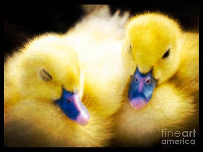 Downy Ducklings Poster by Edward Fielding