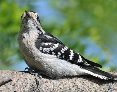 Downy Woodpecker 302 Poster