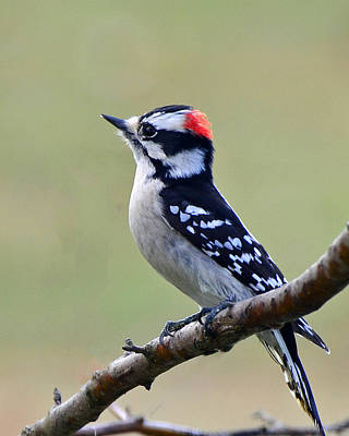 Poster featuring the photograph Downy Woodpecker by Stephen Flint