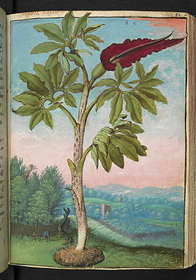 Dragon Arum (dracunculus Vulgaris) Poster by British Library