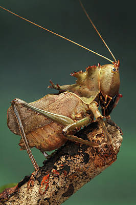 Dragon-headed Katydid Poster by Tomasz Litwin