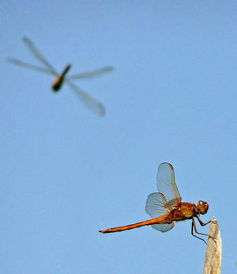Poster featuring the photograph Dragonflies by Jim Whalen