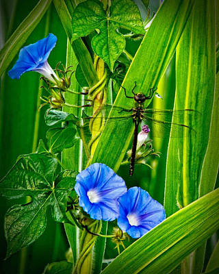 Dragonfly In The Morning Glory Poster by Donna Caplinger