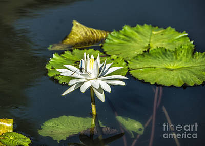 Dragonfly Kisses A Waterlily Poster by Terry Rowe