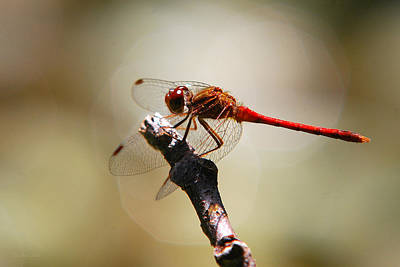 Dragonfly Light Poster by Christina Rollo