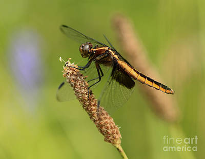 Dragonfly Lunch  Poster by Inspired Nature Photography Fine Art Photography
