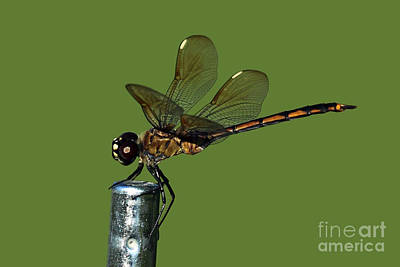 Poster featuring the photograph Dragonfly by Meg Rousher