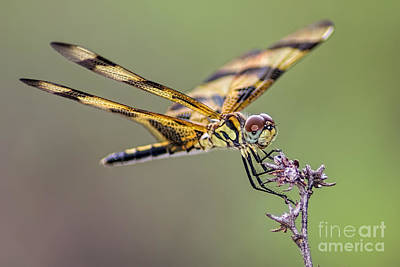 Poster featuring the photograph The Halloween Pennant Dragonfly by Olga Hamilton