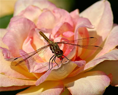 Poster featuring the photograph Dragonfly On A Rose by Ben Upham III
