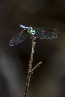 Dragonfly On Branch Poster by Paula Porterfield-Izzo