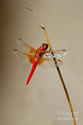 Dragonfly On Dead Reed Poster by Anthony Mercieca