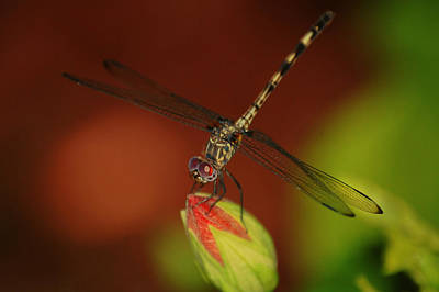 Poster featuring the photograph Dragonfly On Hibiscus by Leticia Latocki