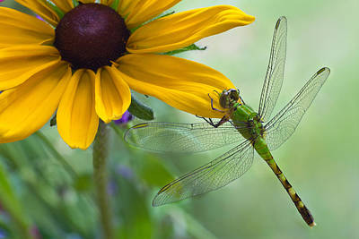 Dragonfly On Yellow Flower Poster by Dancasan Photography