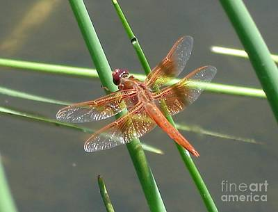 Poster featuring the photograph Dragonfly Orange by Kerri Mortenson