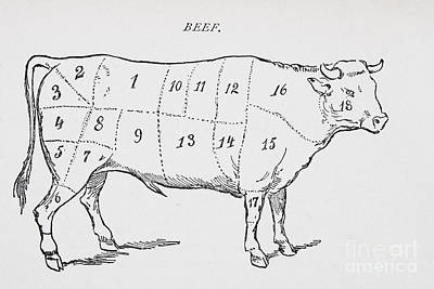 Drawing Of A Bullock Marked To Show Eighteen Different Cuts Of Meat Poster by English School