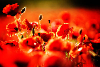 Poster featuring the photograph Dreaming Of Poppies by Meirion Matthias