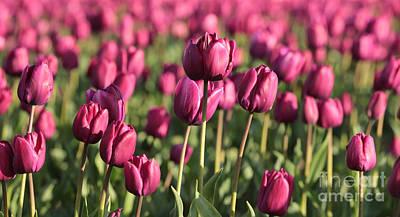 Dreamy Purple Tulips Poster