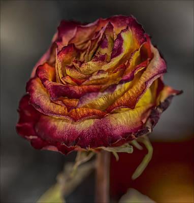 Dried Rose Still Life Poster by Robert Ullmann