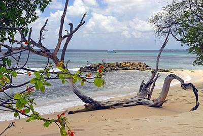 Driftwood On The Beach In Barbados Poster by Willie Harper