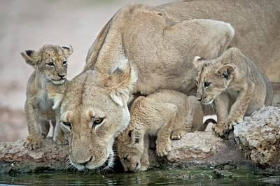 Drinking Lioness With Cubs Poster