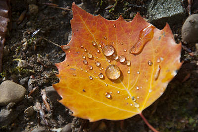 Droplets In Autumn Leaf Poster