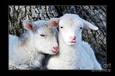 Drowsy Day Old Lambs Poster
