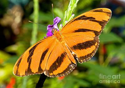Dryadula Butterfly Dryadula Phaetusa Poster by Millard H. Sharp