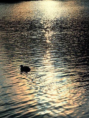 Duck At Sunset Poster