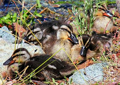 Duck Dynasty Ducklings Poster by Tap On Photo