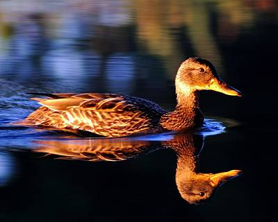 Duck On A River With Refletion Poster