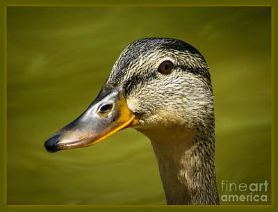 Poster featuring the photograph Duck Protrait by Brenda Bostic
