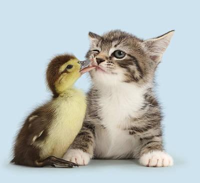 Duck Tweaking The Lip Of Tabby Kitten Poster by Mark Taylor