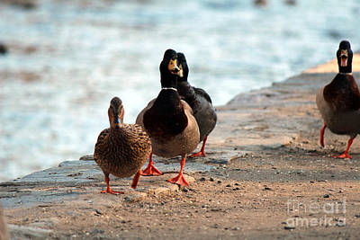 Poster featuring the photograph Duck Walk by David Jackson