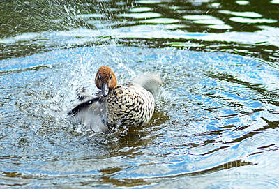 Duck With Outboard Motor By Kaye Menner Poster
