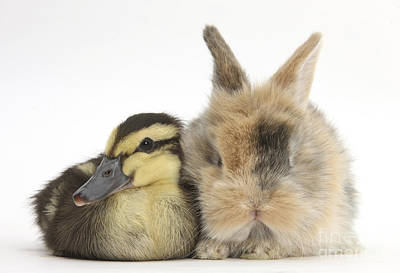 Duckling And Baby Bunny Poster