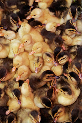 Ducklings, Can Duoc Market, Long An Poster