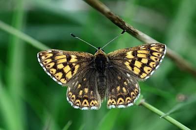 Duke Of Burgundy Butterfly Poster by Colin Varndell
