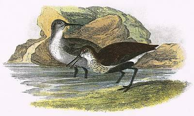 Dunlin Poster by English School