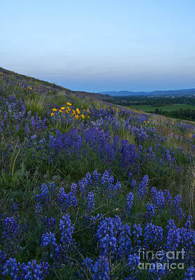 Dusk Over Lupine Poster by Mike  Dawson