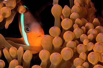 Dusky Anemonefish Poster by Louise Murray