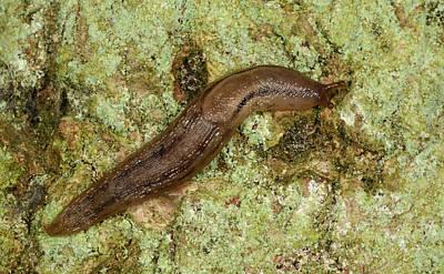 Dusky Arion Slug Poster by Nigel Downer